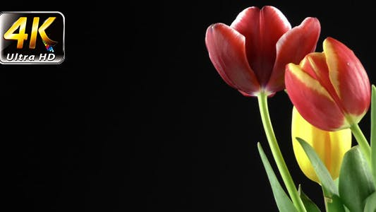 Thumbnail for Tulips on Black Background 3