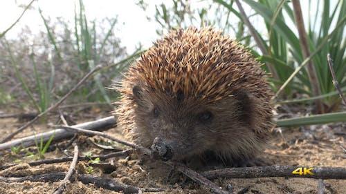 Real Natural Wildlife Animal Hedgehog 3