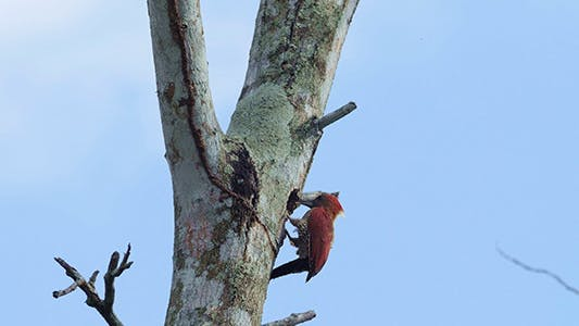 Thumbnail for Banded Woodpecker (Picus Miniaceus) 04