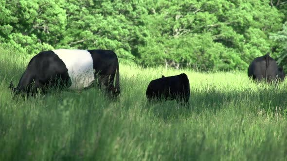 A Herd Of Cows In The Countryside (5 Of 6)