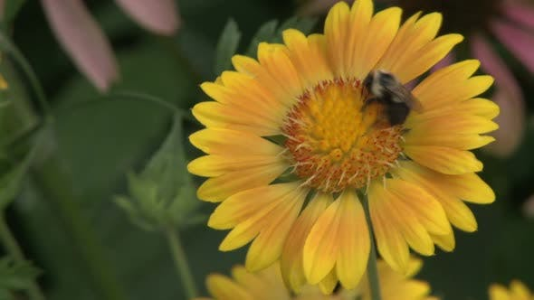 Pollination Of A Beautiful Sunflower (2 Of 2)