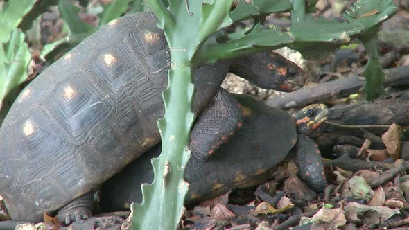 Thumbnail for Red-Footed Tortoises Mating