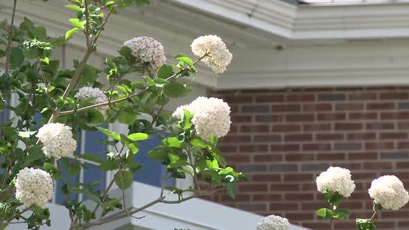 Thumbnail for White Flowers On A Bush In Front Of A Brick Building