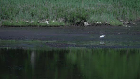 Thumbnail for Heron In Marsh (1 Of 2)