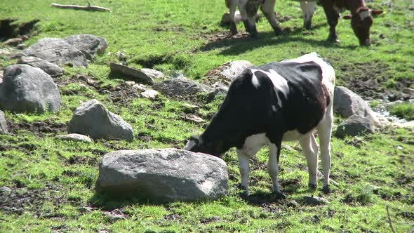 Thumbnail for Cows Grazing In Rocky Pasture (3 Of 4)