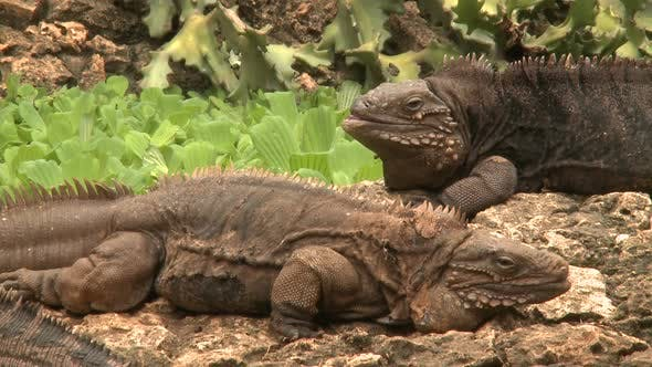Iguanas (3 Of 3)