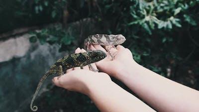 Two Funny Chameleons Sitting on Female Palms Woman Holds Funny Lizard Zanzibar