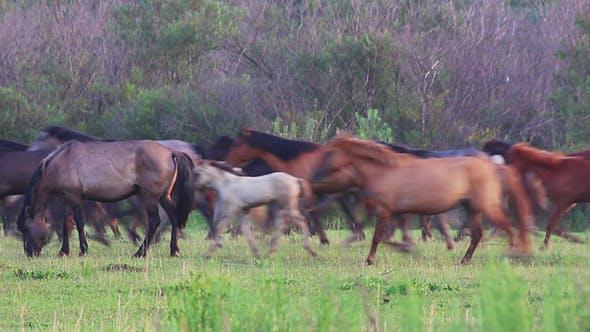 Thumbnail for Herd Of Horses Running On Pasture
