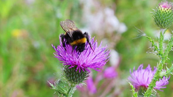 Bumble-Bee On Thistle Flower