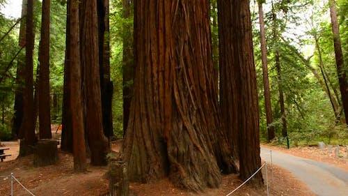 Giant Sequoias Redwood Trees In California
