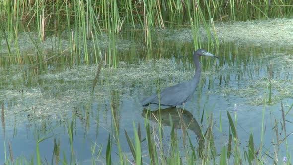 Thumbnail for Little Blue Heron (1 Of 3)