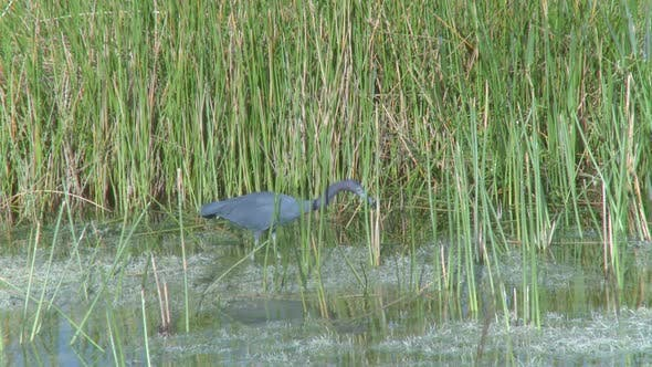Thumbnail for Little Blue Heron (2 Of 3)