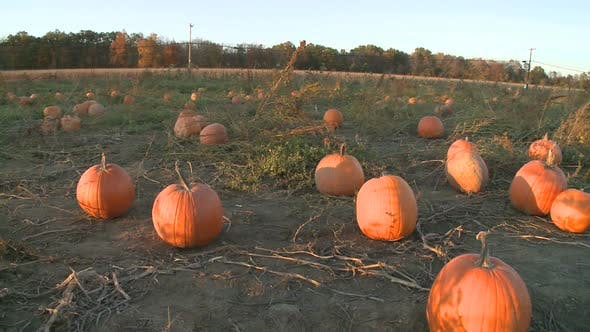 Thumbnail for Pumpkins Ready For Harvesting (3 Of 5)