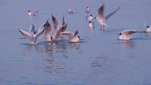 Thumbnail for Few Gulls Float in Calm Sea Water  at Sunset