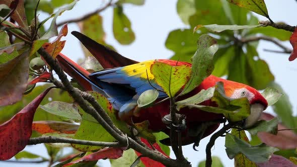 Thumbnail for Colorful Macaw Parrot on a Branch