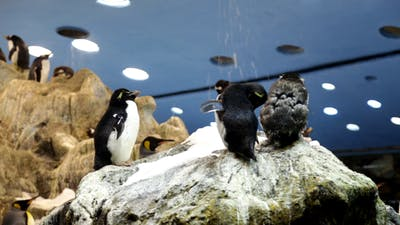 The Penguins in Zoo