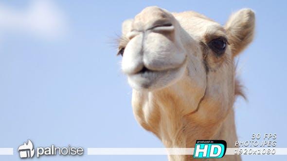 Thumbnail for Camel Face 01