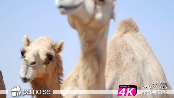 Thumbnail for Camel Panoramic