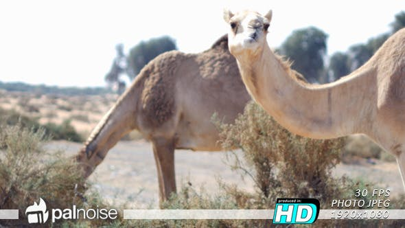 Thumbnail for Camel Eating 01