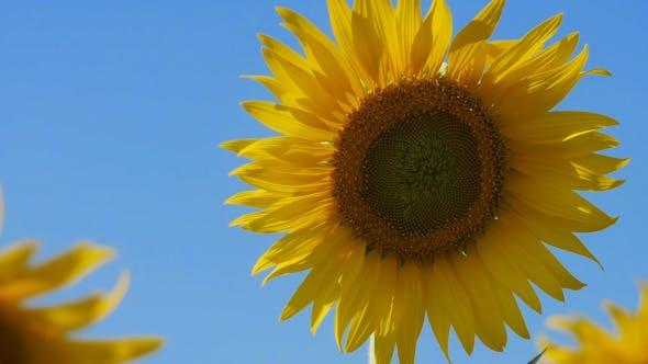 Thumbnail for Sunflower