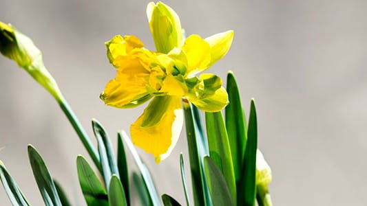 Daffodils Open Up Their Blossoms
