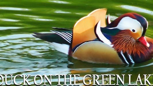 Thumbnail for Duck on the Green Lake