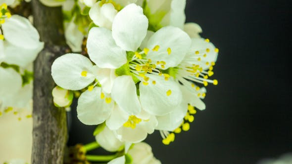 Thumbnail for Wild Plum Flower Blossoming 4