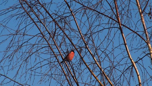 Cover Image for Bullfinch on the branches of a birch