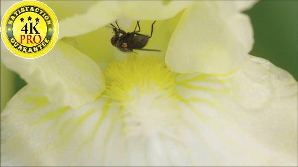 Ein Schädlingsfliege auf einem Blumen Nektar