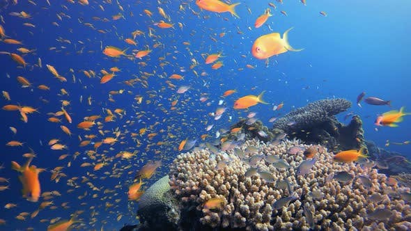 Cover Image for Red Sea Orange Fish