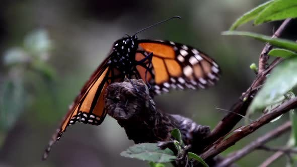 Thumbnail for Monarch Butterfly Sanctuary Mexico 19