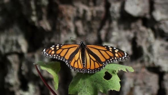 Thumbnail for Monarch Butterfly Sanctuary Mexico 8