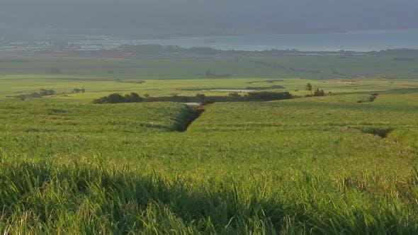 Thumbnail for Sugar Cane Field 1