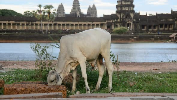 Thumbnail for Cow Eating In Front Of The Main Temple - Angkor Wat Temple Complex, Cambodia