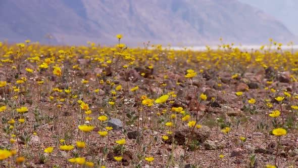 Thumbnail for Death Valley Desert Flowers 3