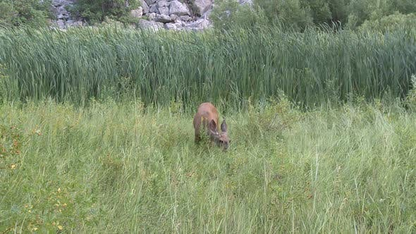 Thumbnail for Deer Eating Grass