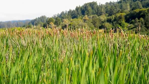 Thumbnail for Marsh Of Reeds Point Reyes California 3
