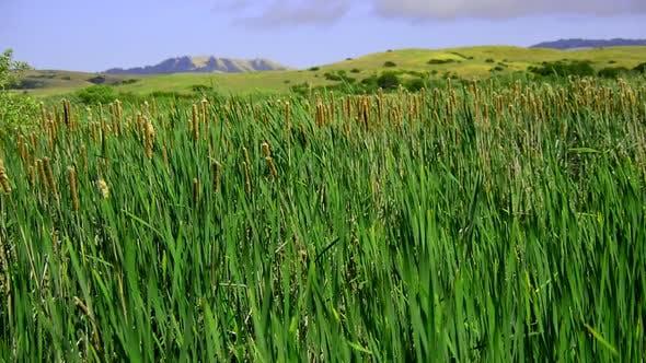 Thumbnail for Marsh Of Reeds Point Reyes California 6