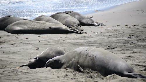 Elephant Seal Beach -  San Simeon California 3