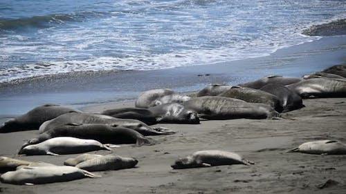 Elephant Seal Beach -  San Simeon California 5