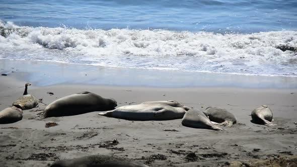 Cover Image for Elephant Seal Beach -  San Simeon California 6