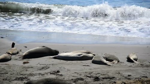 Elephant Seal Beach -  San Simeon California 7