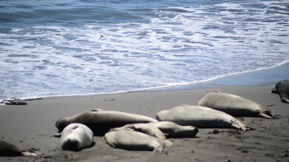 Thumbnail for Elephant Seal Beach -  San Simeon California 9