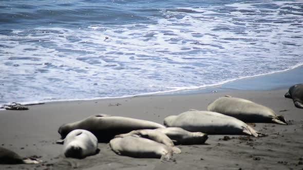 Elephant Seal Beach -  San Simeon California 9