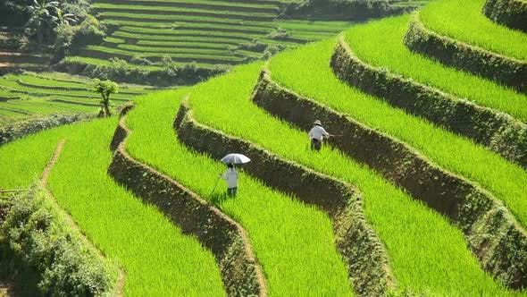 Thumbnail for Workers Planting Rice In Scenic Rice Terraces - Sapa Vietnam