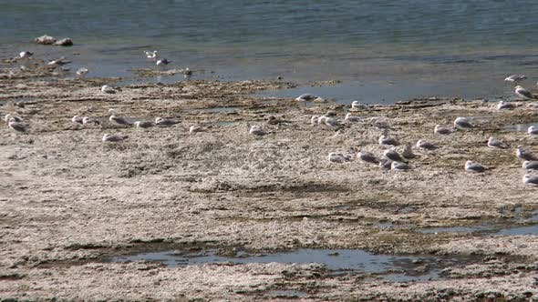 Thumbnail for Seagulls And Birds At Mono Lake