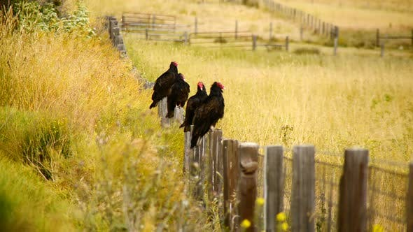 Thumbnail for Wild Turkey Vulture Buzzards Sitting On A Fence 2