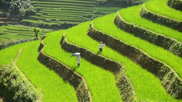 Cover Image for Workers Planting Rice In Scenic Rice Terraces - Northern Mountains Sapa Vietnam