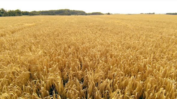 Thumbnail for Wheat Field Aerial