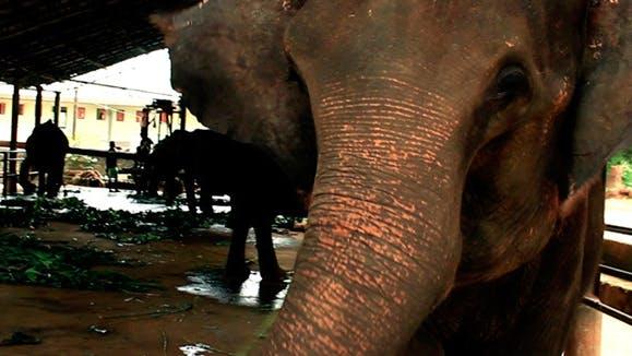 Thumbnail for Adult Elephant